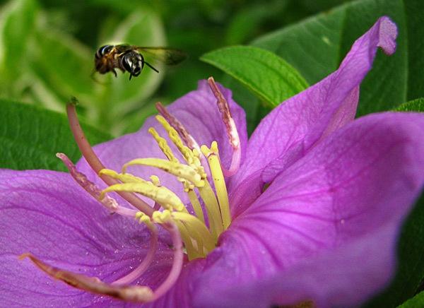 Honey Bee by Saibal