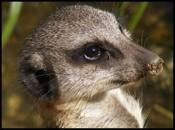 Meerkat. by Sampics