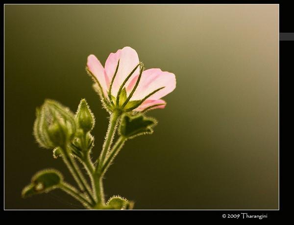 Pink beauty by tharang_b9