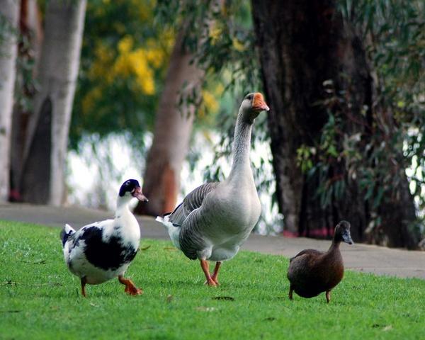 The three Ducketeers by PaulinAus