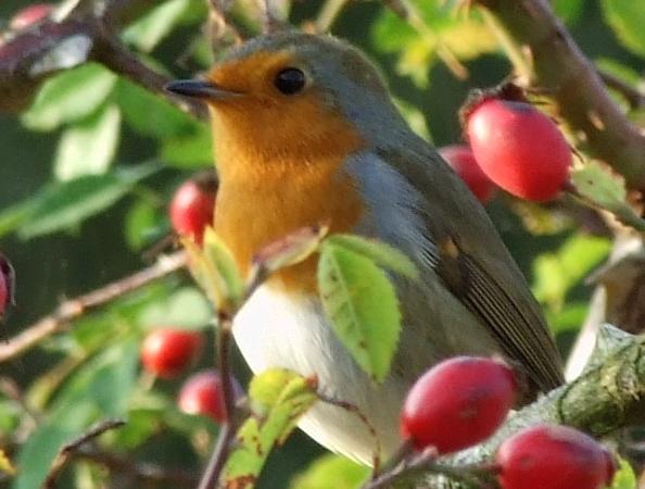 Robin by flickchick