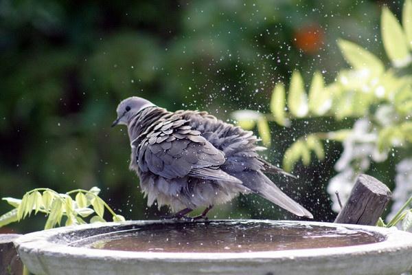 Dove swimming by sugarbird