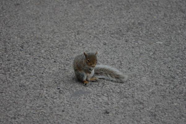 Durham squirrel by QuentinS