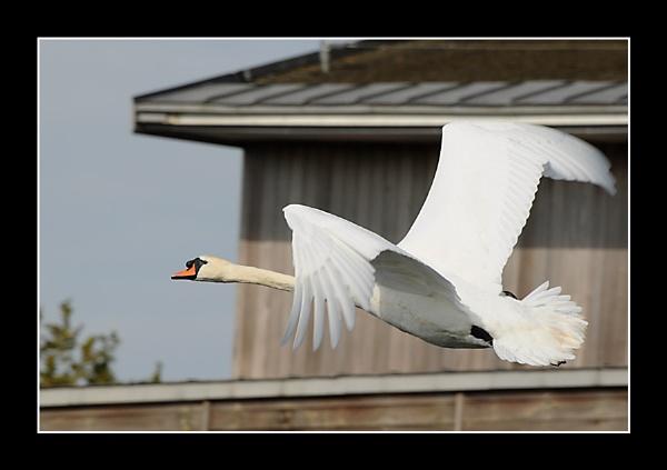 Inflight Swan by m3lem