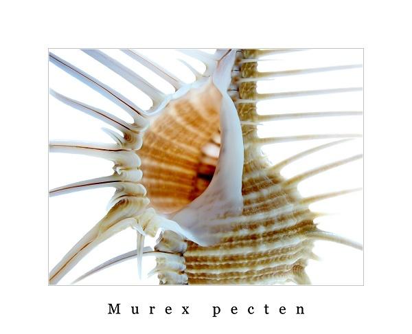 Venus Comb murex by ChiliMan