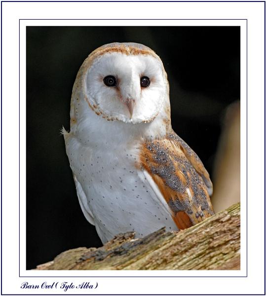 Barn Owl by Maiwand
