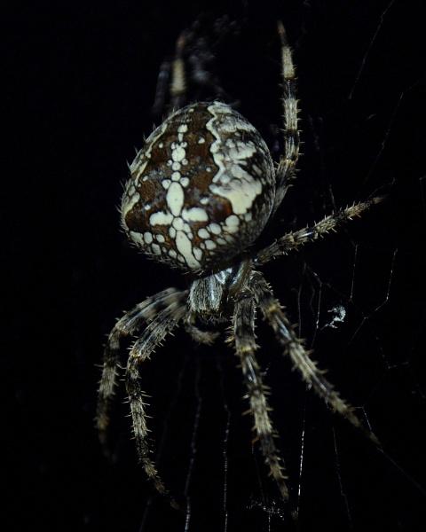 Spider !! by MissPea