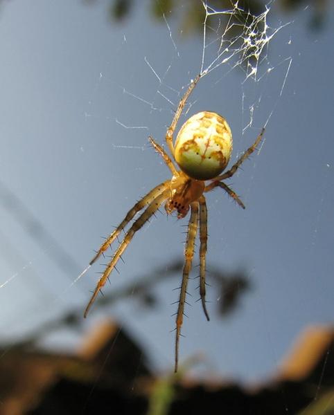 Spider I by Declanworld