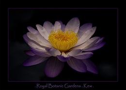 Water Lily Kew