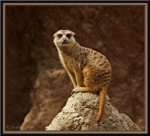 Meerkat by franfoto
