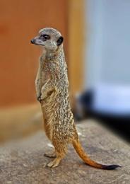 Meerkat . com