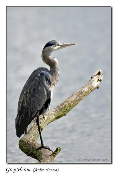 Grey Heron (Ardea cinerea) by teocali