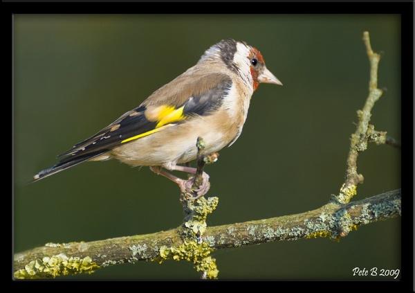 Goldfinch by pberridge