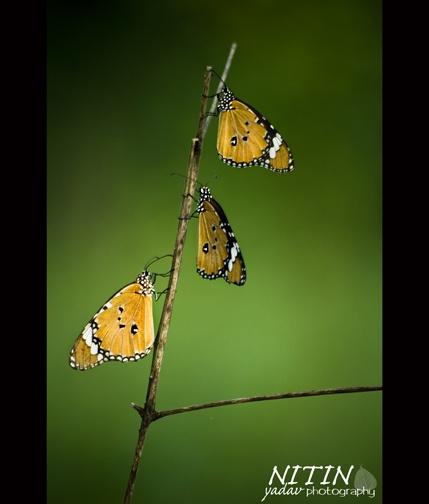 3 butterflies by nitinhopeindia