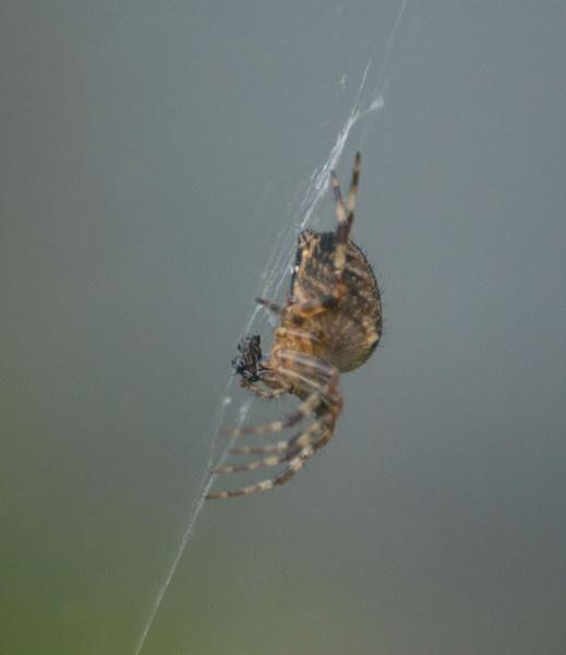 Spider by Emmog