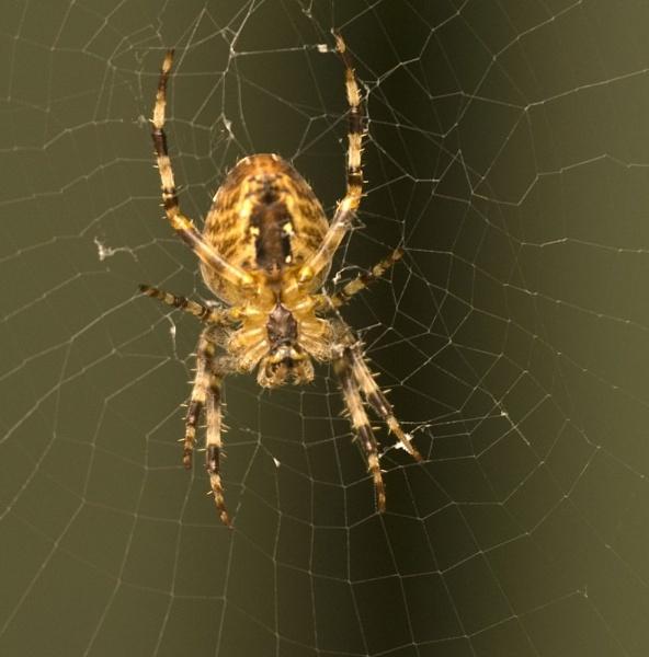 Garden Spider by paddyman