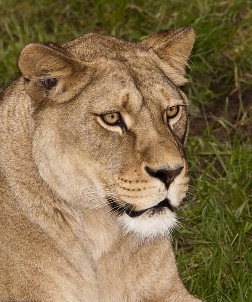 Lion by canonfan46
