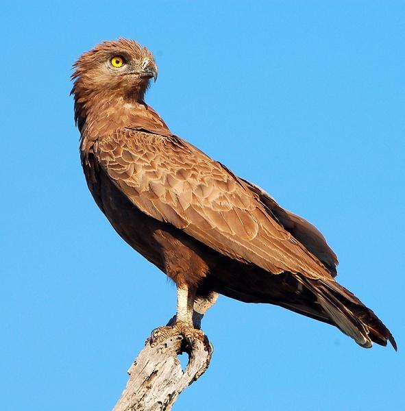 Brown Snake Eagle by doolittle