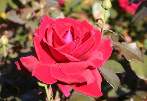 Red Red Rose by GordonLack