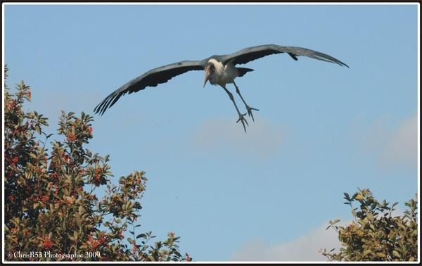 Marabou Stork by ChrisB53