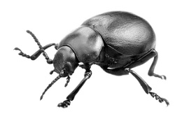 Beetle in mono