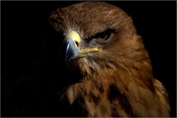 A Hawk On The Dark Side ...... by tralfamadorean