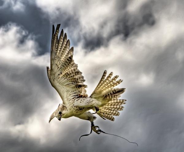 Falcon by tywanda46
