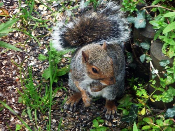 Garden Squirrel by robertrshield