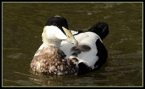 Eider Duck by m3lem