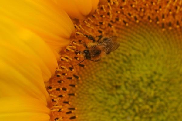 Sunflower by TrevorH