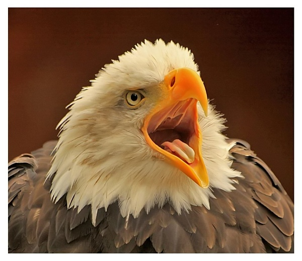 bald eagle by baxster