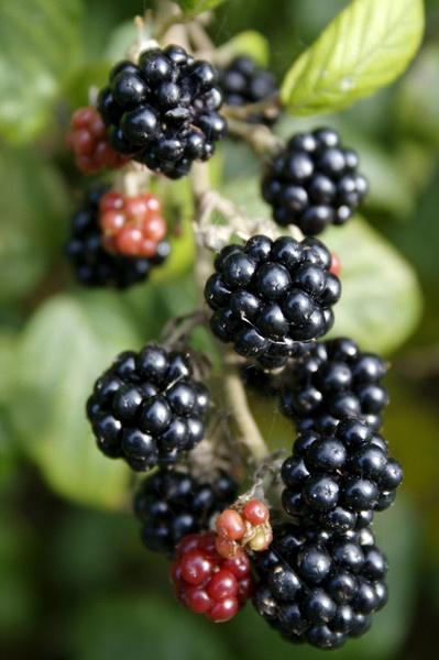 Blackberries by angelica_cab