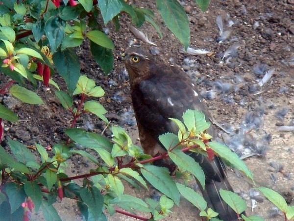 Sparrowhawk by TinyBrad