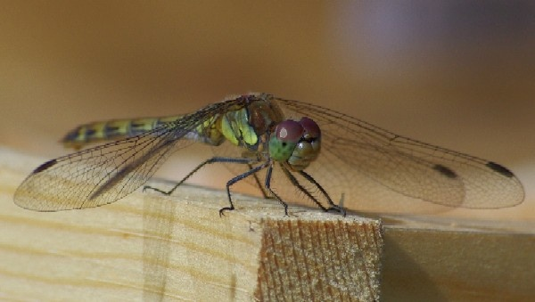 Hawker Dragon Fly by Paul-Collins