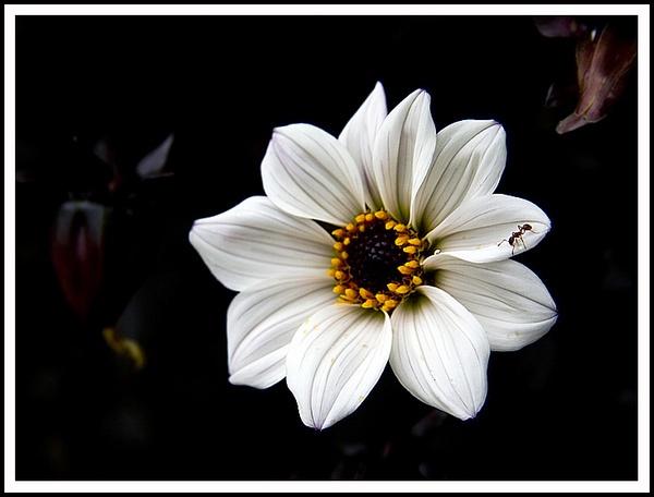 White Flower by urdygurdy