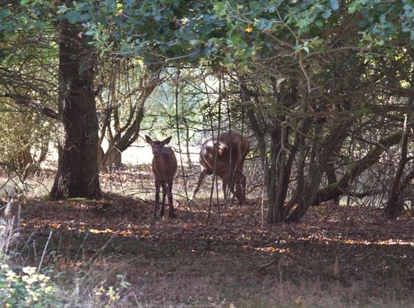 Deer by chance by marathonman