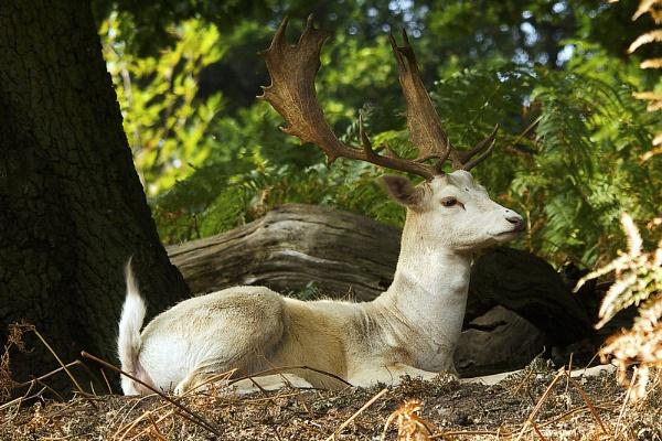 White Buck by bridge99