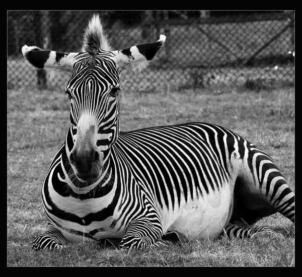A Religious Zebra by fazzer