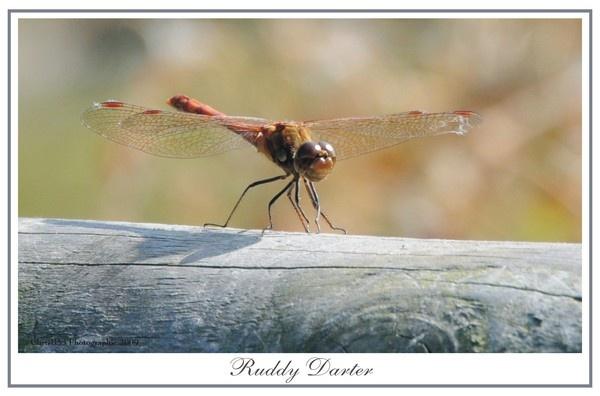 Ruddy Darter by ChrisB53