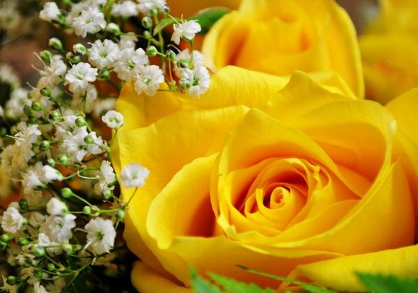 Rose by davidbuller