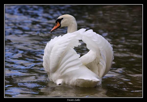 Swan Lake by cider