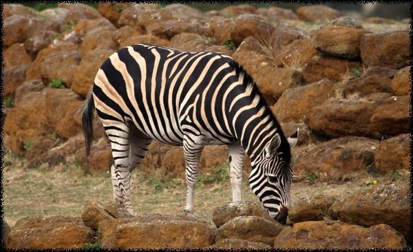 Zebra by nort
