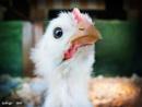 Cheep Chick