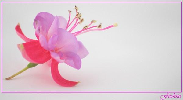 Fuchsia by jowilde