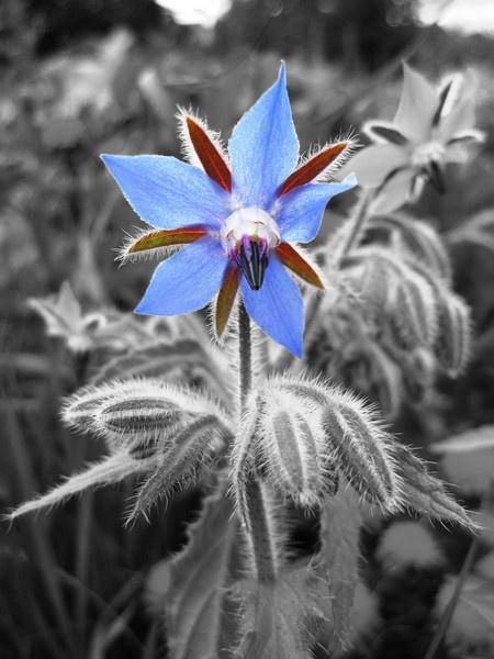 Borage Flower by dannyboyok