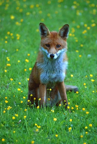 Fox 3 by sandyd