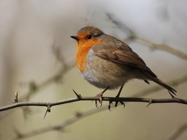 Robin by stevebidmead