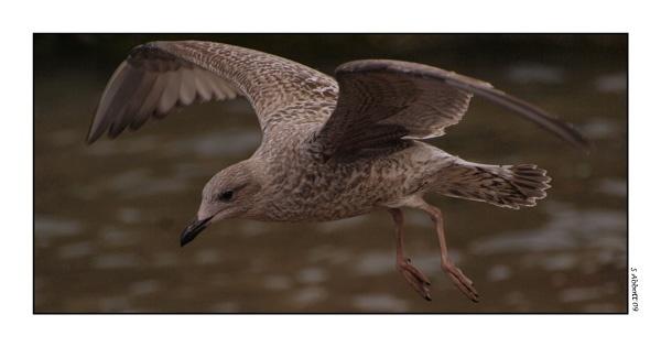 Scottish Seagull by elaronndy