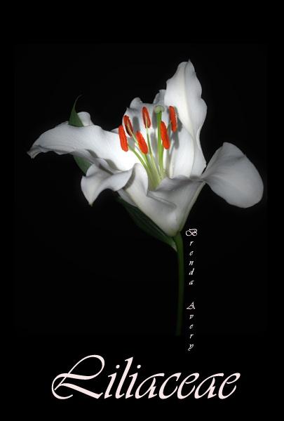 Lilyaceae by Bondgirl
