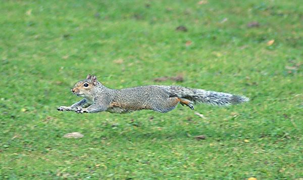 Super Squirrel by SiSheff